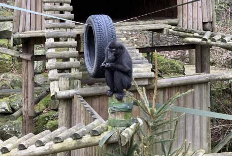 Sulawesi crested macaque at Dudley Zoo